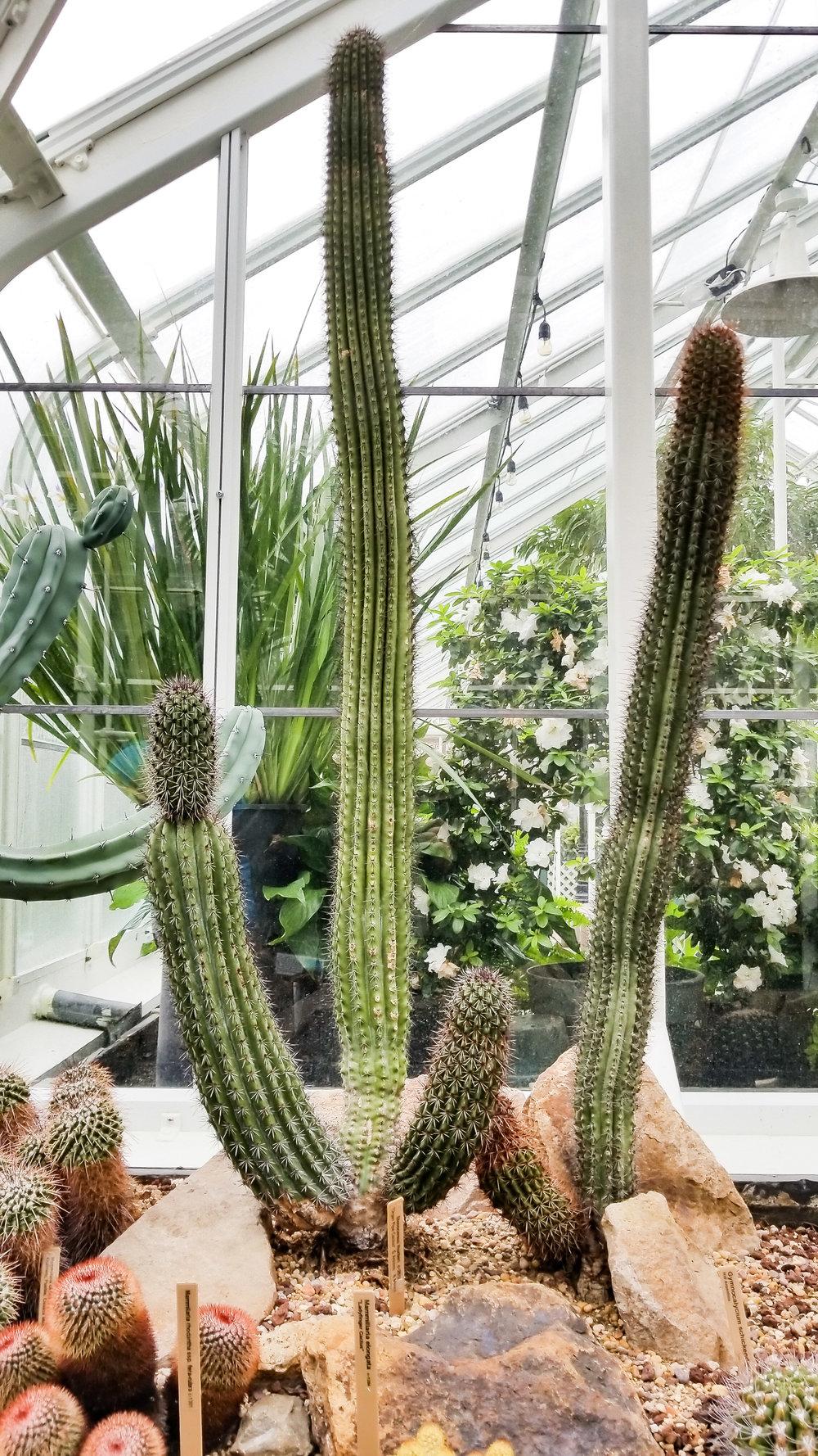 Cacti by Hemleva.jpg