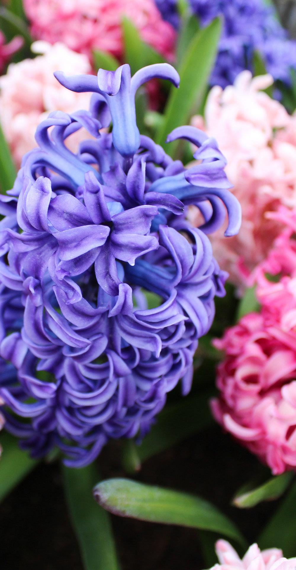 Hyacinths by Hemleva.jpg