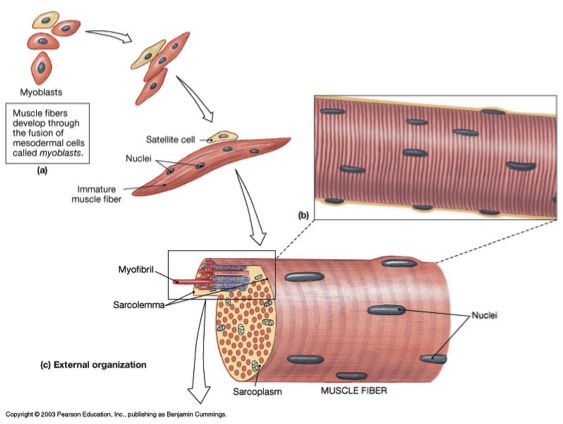 Figure 1: Schematic showing a satellite cell lying adjacent to an individual muscle cell which forms muscle fibers.