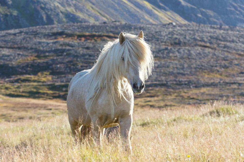 Icelandic Blonde