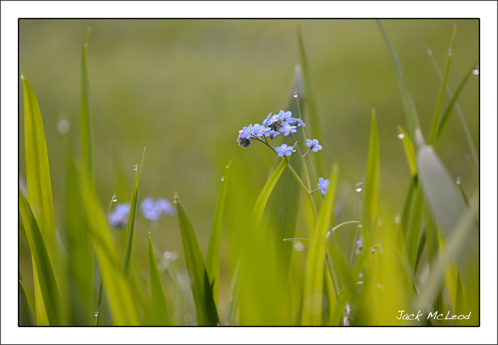 Day 3:  Forget Me Not with Dew