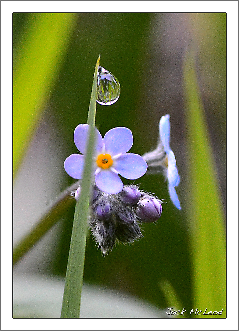 Day 1:  Forget Me Not & Dewdrop