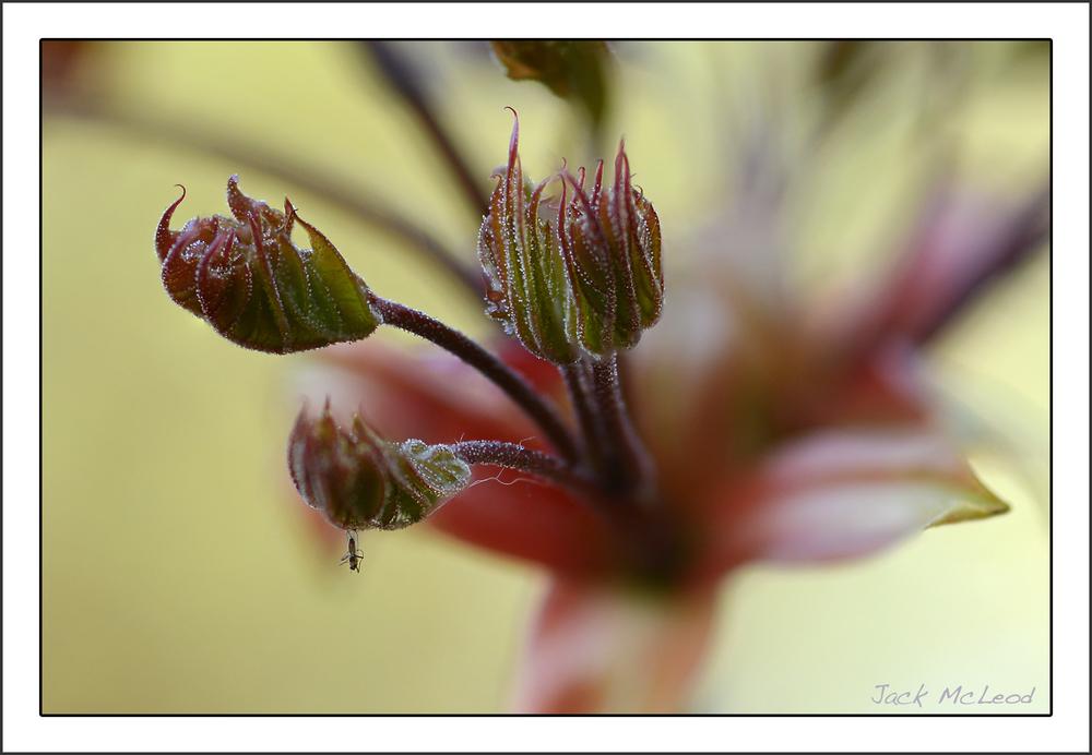 Day 4:  Maple Leaf Buds