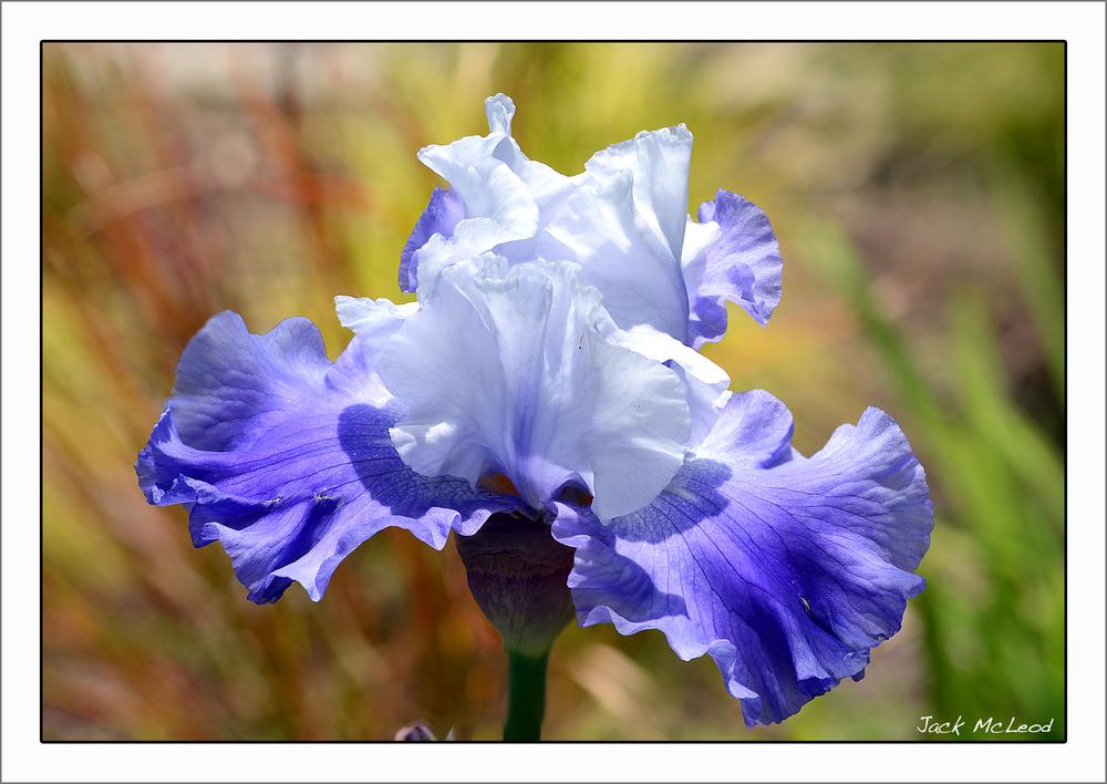 blue&white iris_matte.jpg