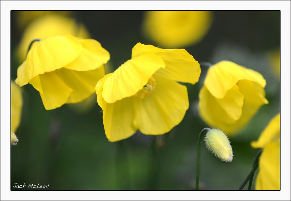 yellow poppies_matte.jpg