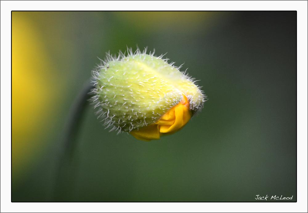yellow poppy budding_matte.jpg
