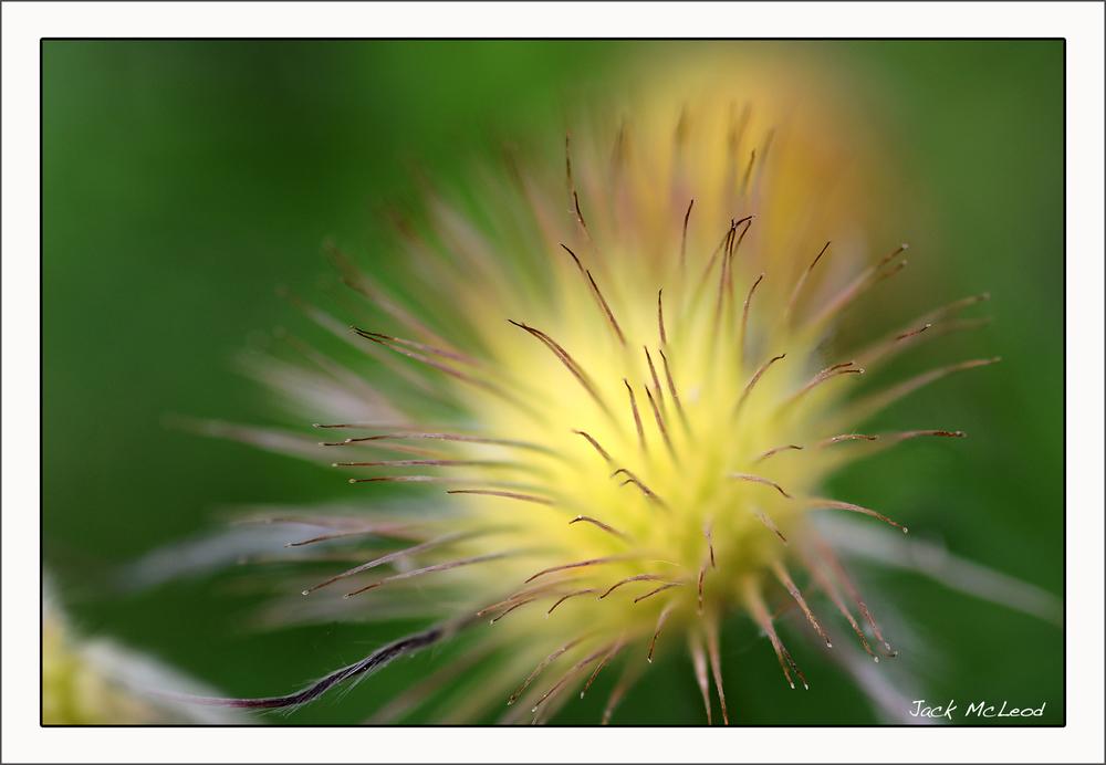 PasqueFlower_yellow_matte.jpg
