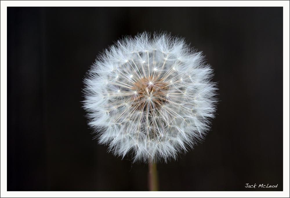 dandelion1_matte.jpg
