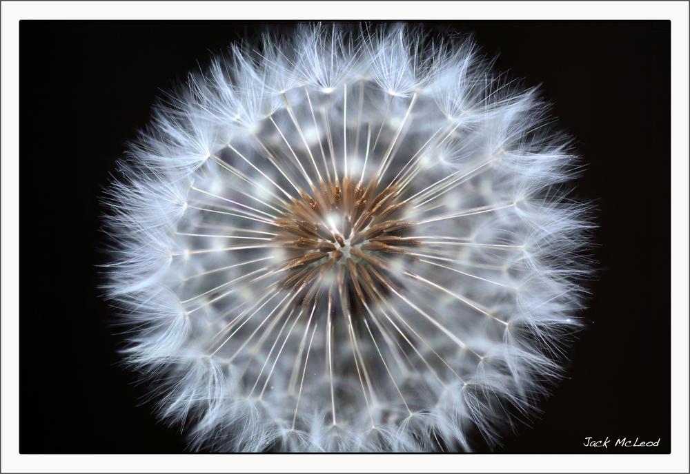 dandelion2_matte.jpg