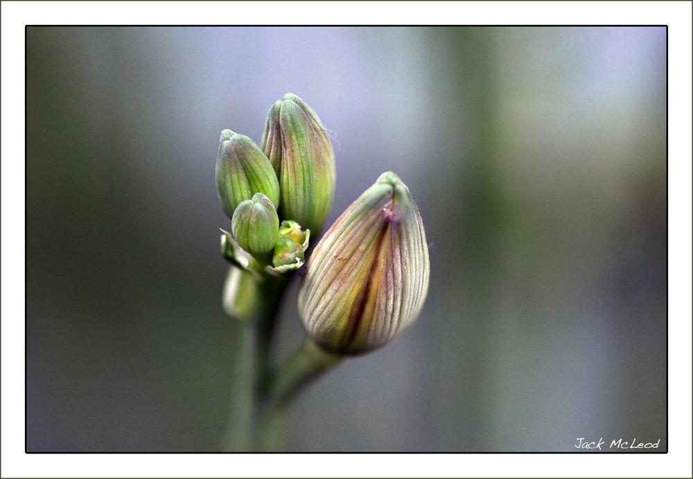 daylily buds3.jpg