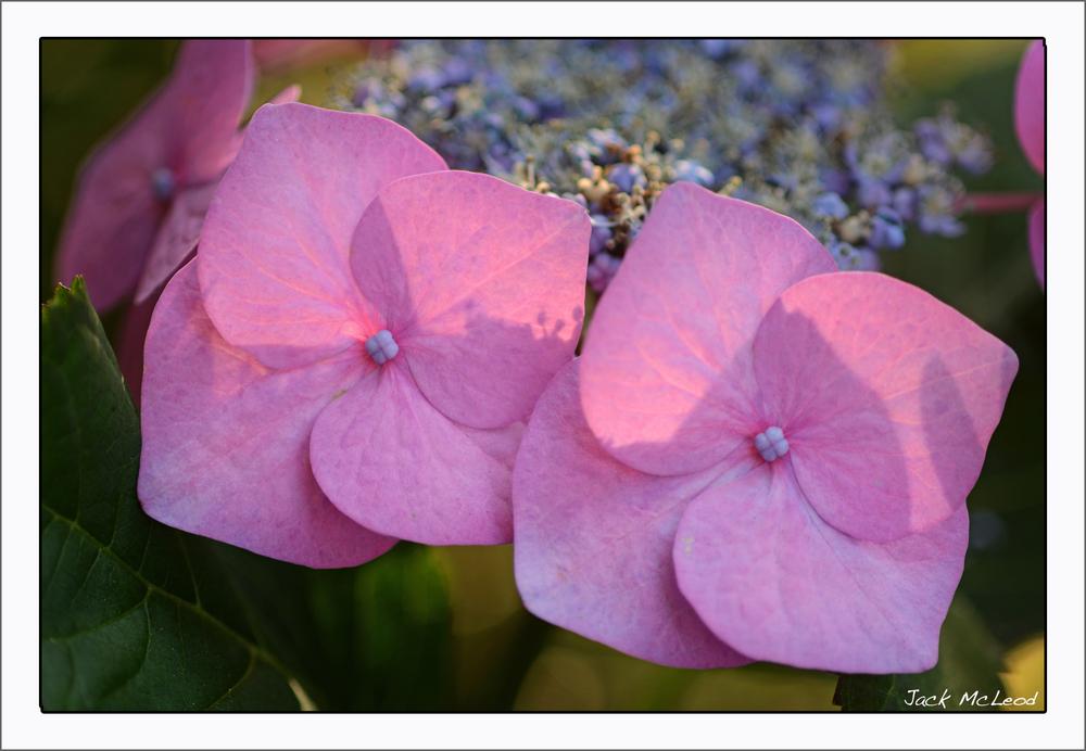 hydrangea2pink_matte.jpg
