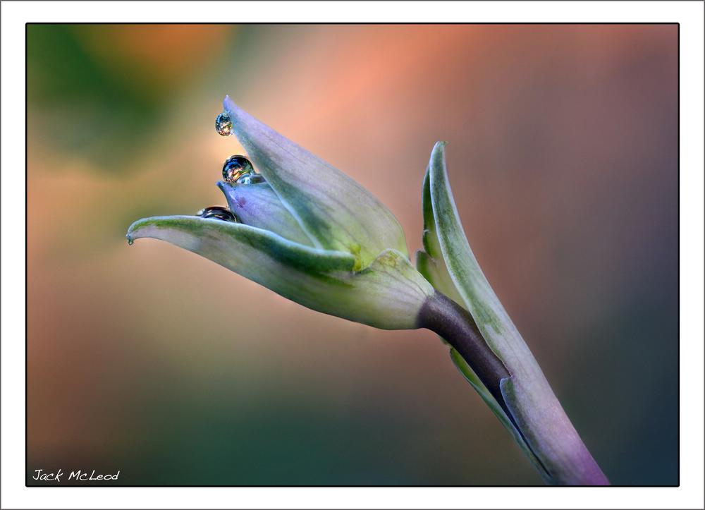 waterdrops_hostabud_golddrop_matte.jpg