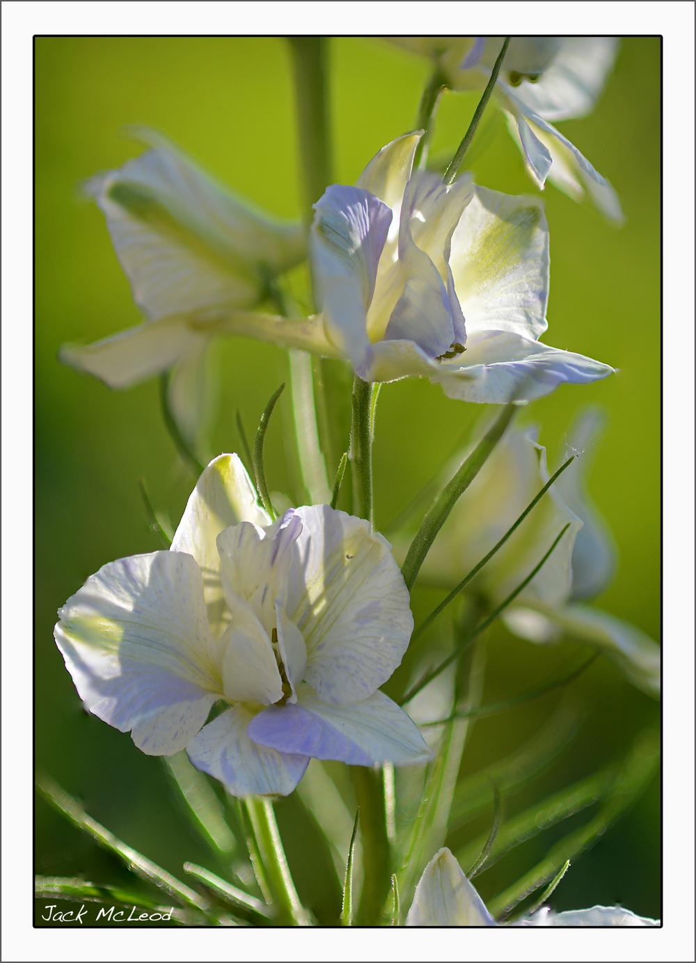 larkspur2flowers_matte.jpg