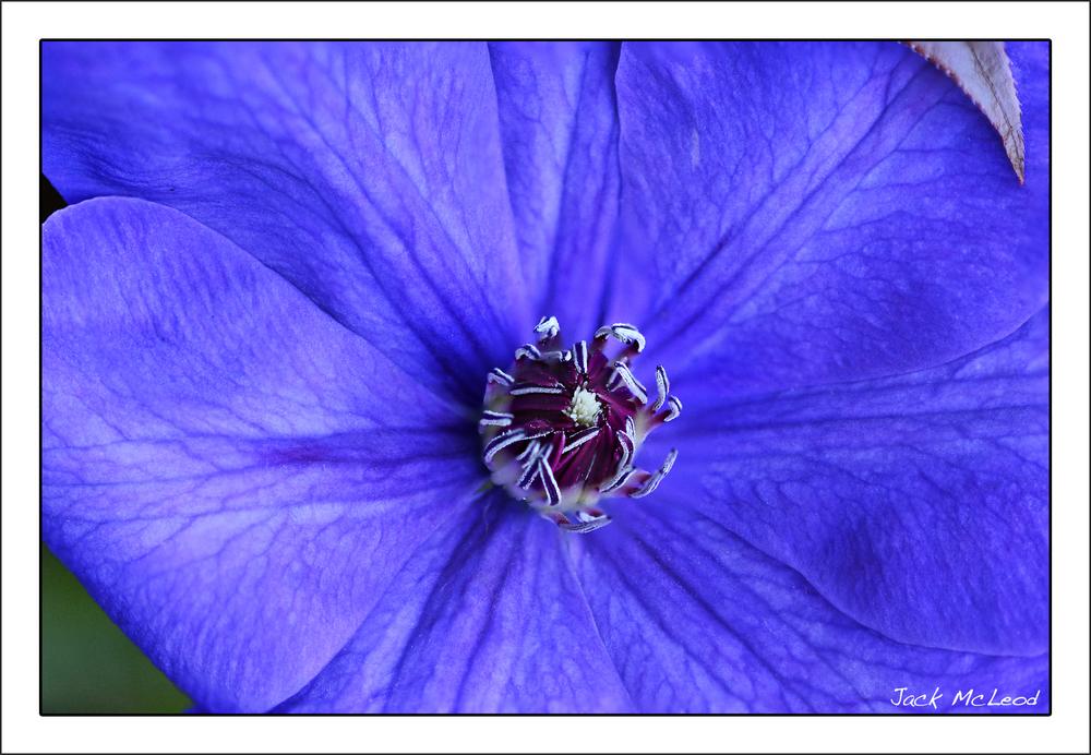 clematis_blue_matte.jpg