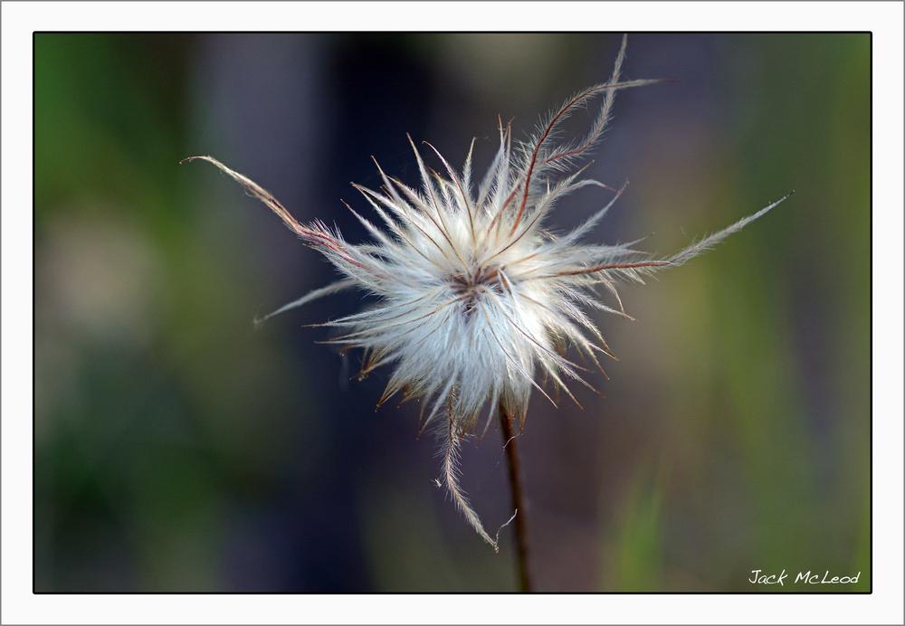 PasqueflowerSeedhead2_matte.jpg