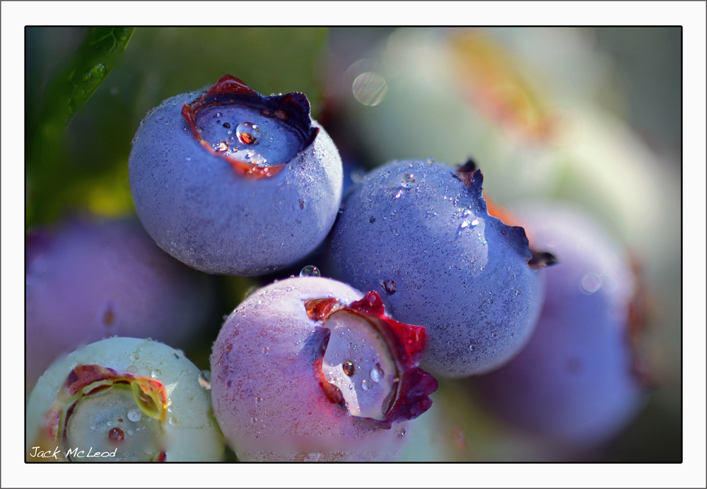 blueberries_sunrisedew_matte.jpg