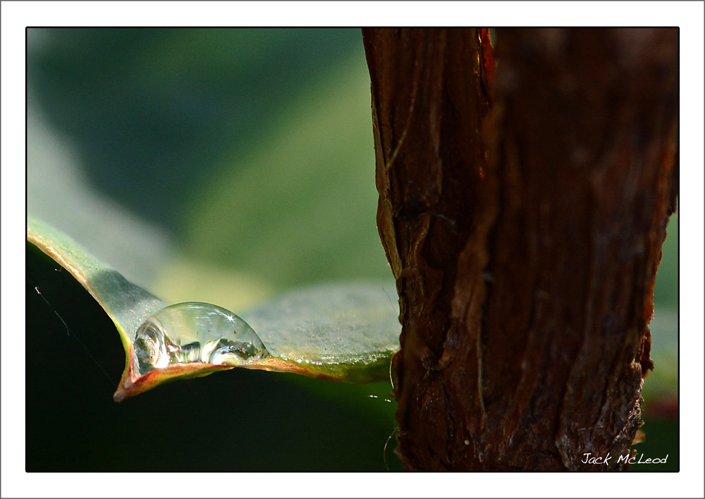 waterdrop_leaftip_StJohnsBark_matte.jpg