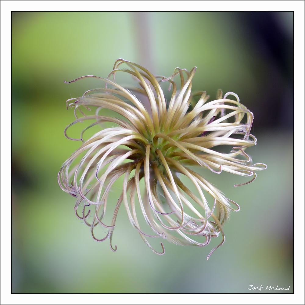 PasqueflowerSeedhead3.jpg
