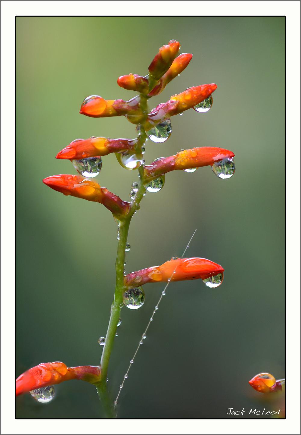 Crocosmia_raindrops_matte.jpg