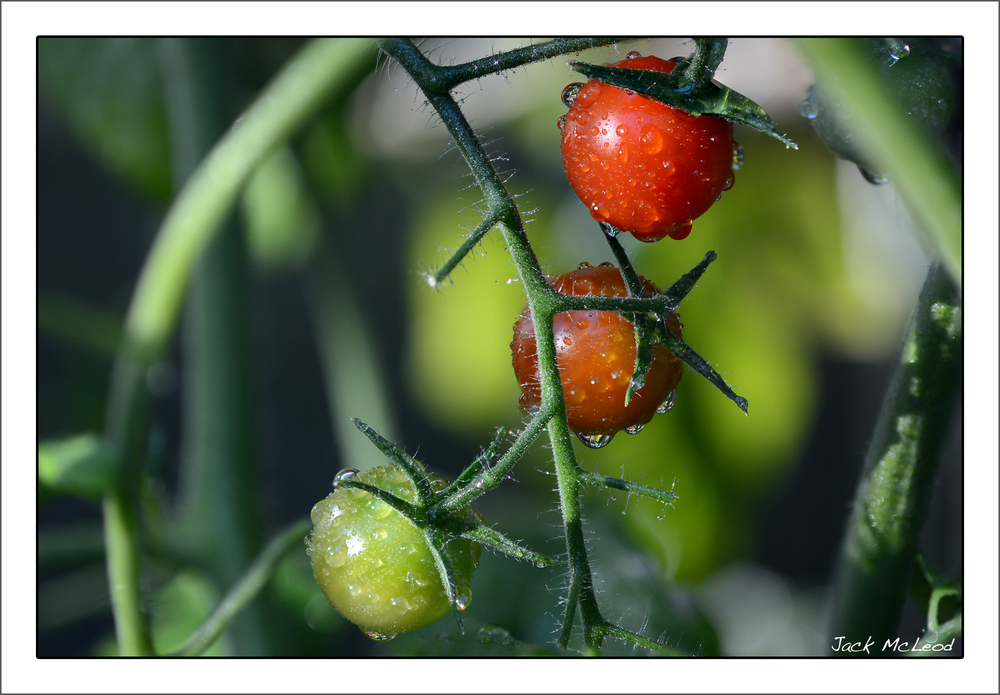 Tomatoes_cherry_grn-or-red_matte.jpg