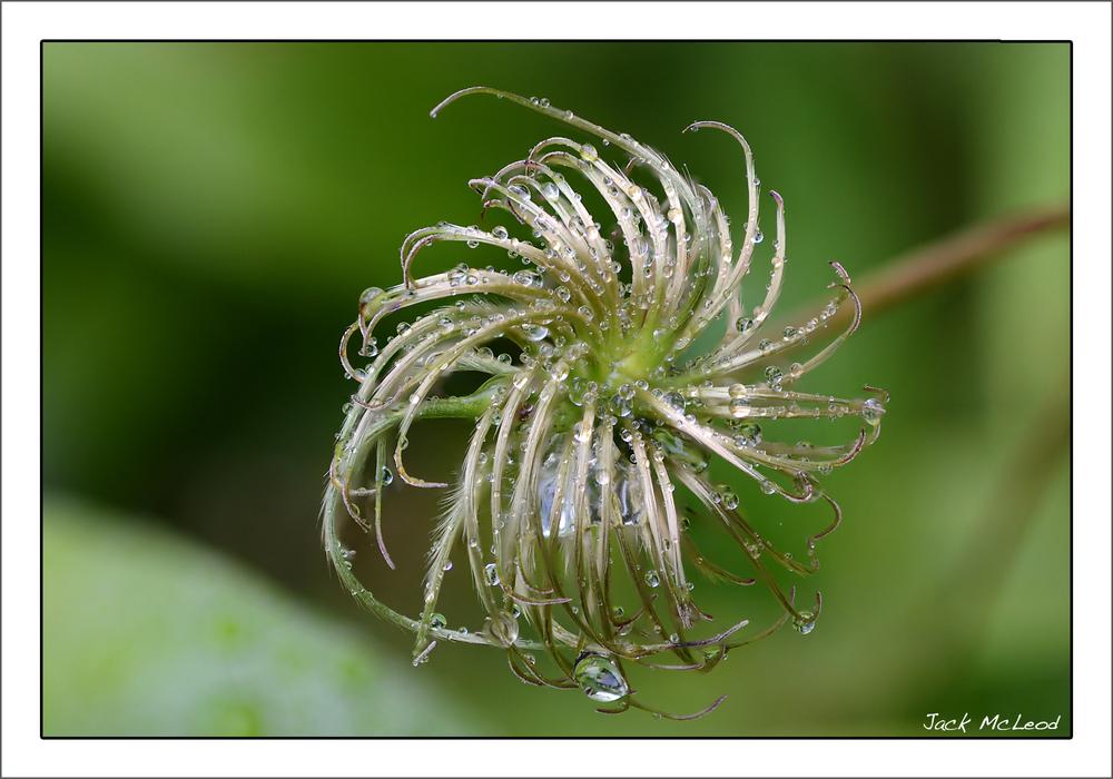 clematis_seedhead_waterdrops1_matte.jpg