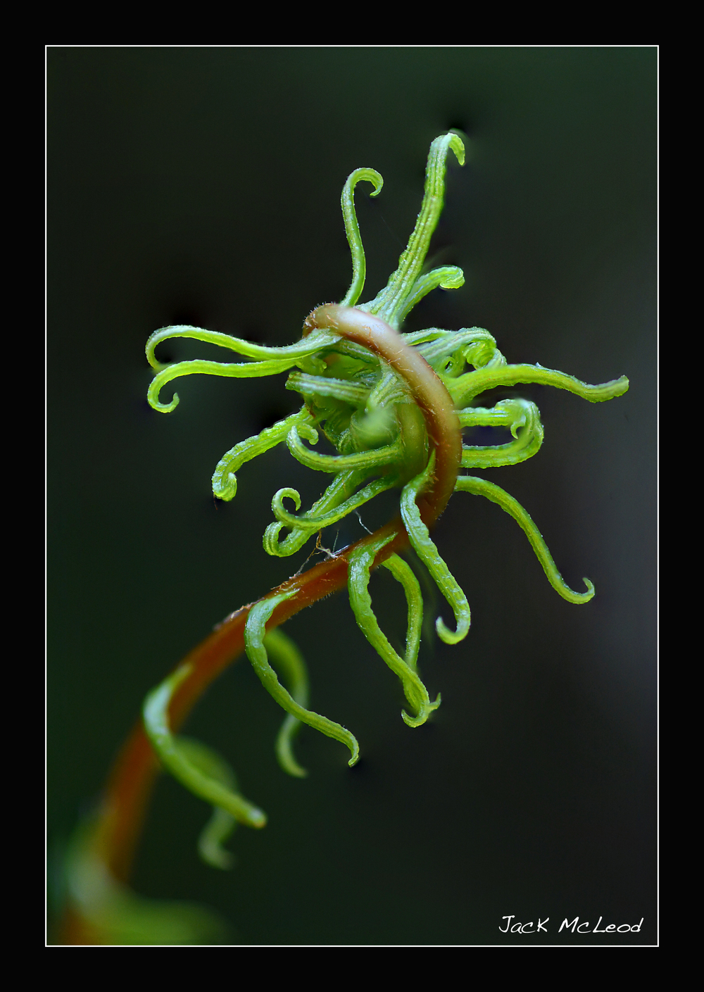 fiddlehead_tentacles_matte.jpg