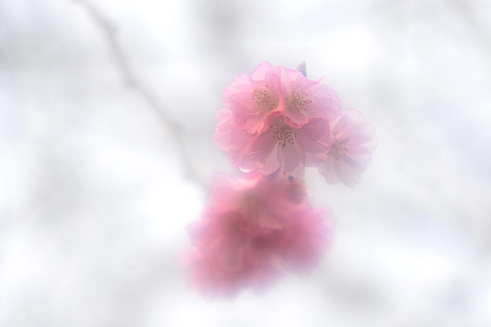 CherryBlossoms_Feb14.jpg