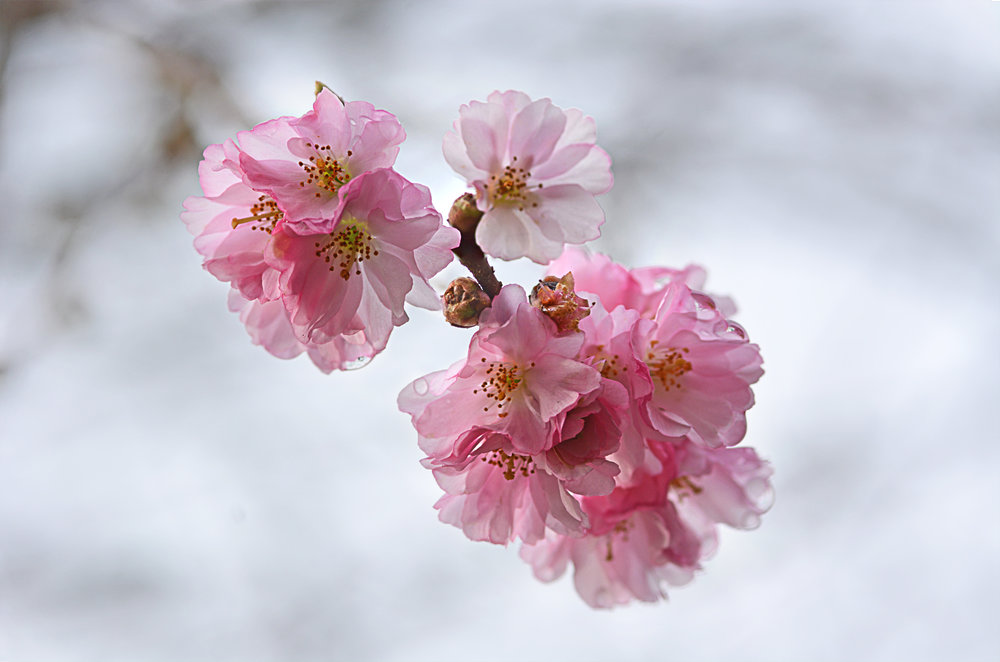 CherryBlossoms2_Feb14.jpg