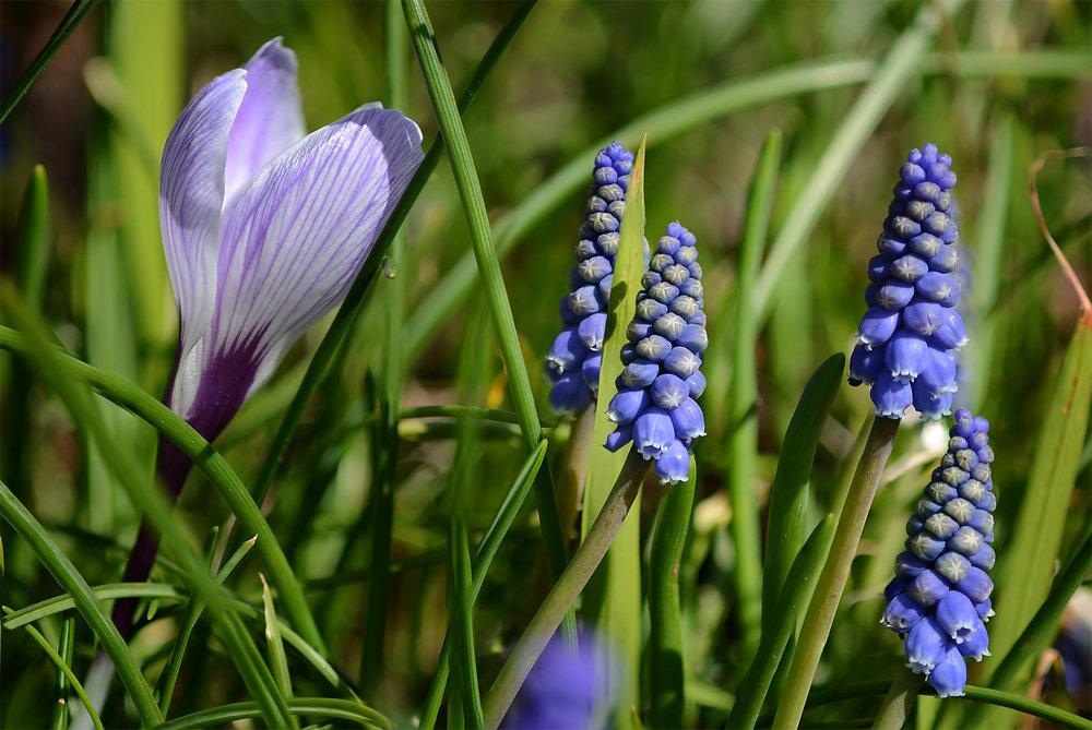Crocus&Hyacinths.jpg