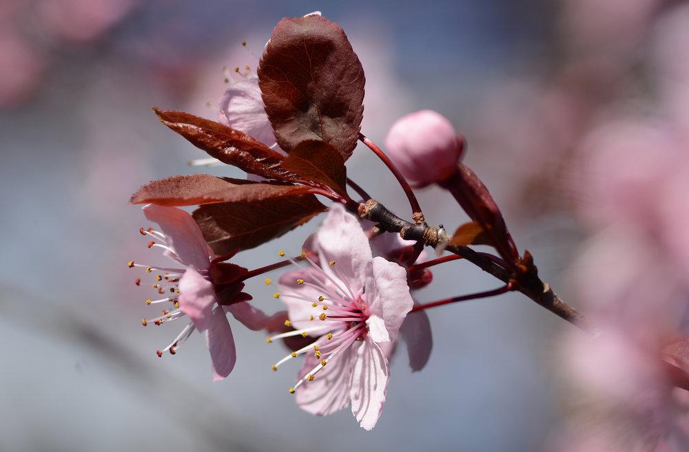 PlumBlossoms2.jpg