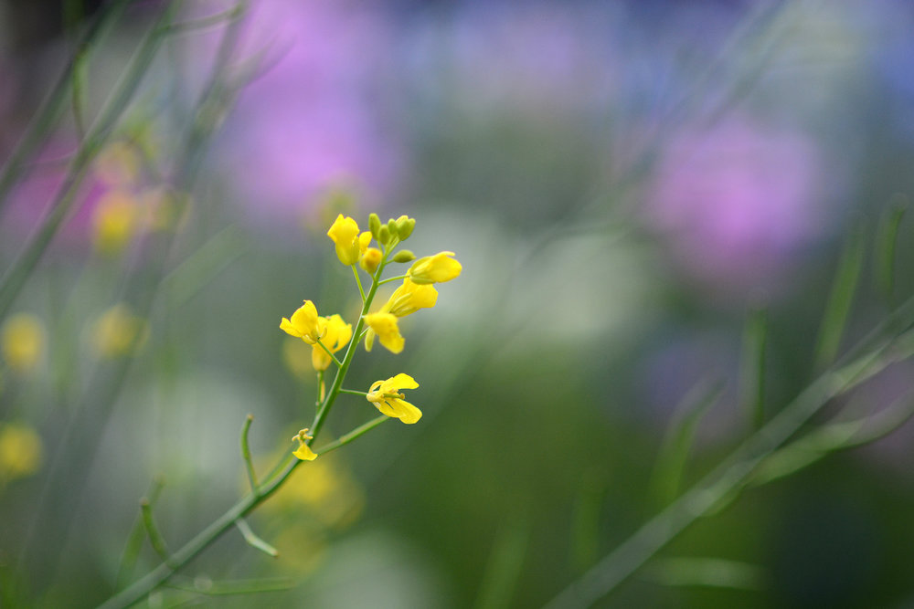 mustard&flowers_f3_1000_4x.jpg