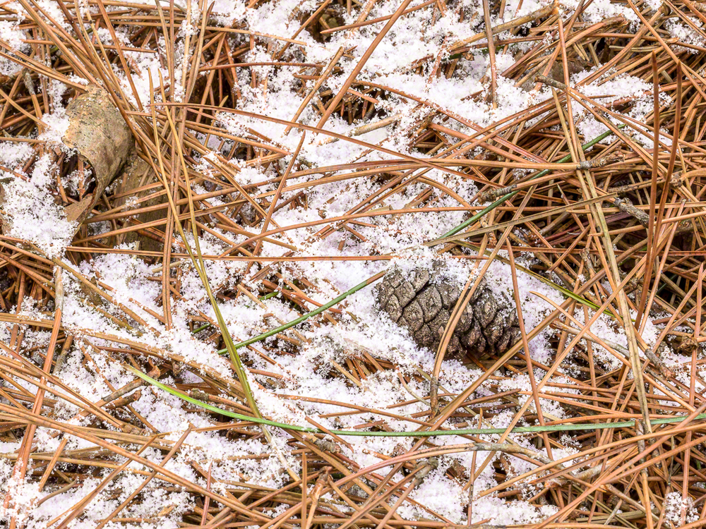Pine Egg
