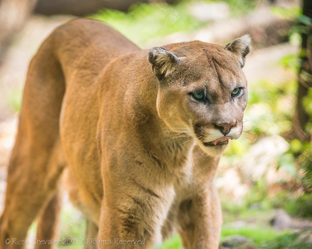 Mountain Lion-1