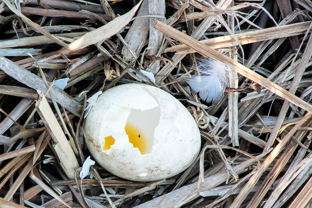 Goose Egg.jpg