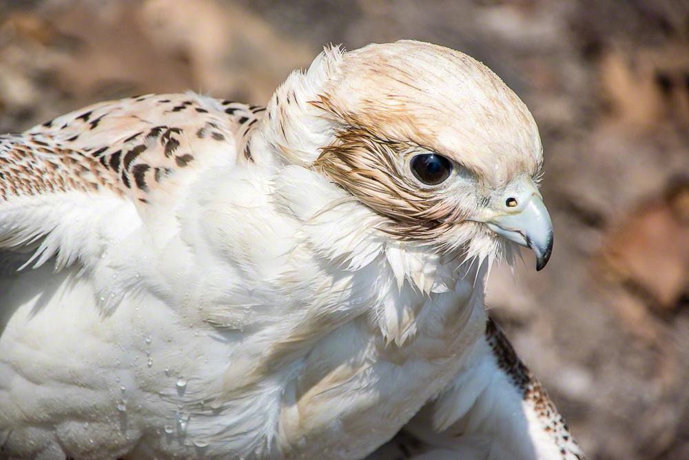 BirdsPrey15-1861.jpg