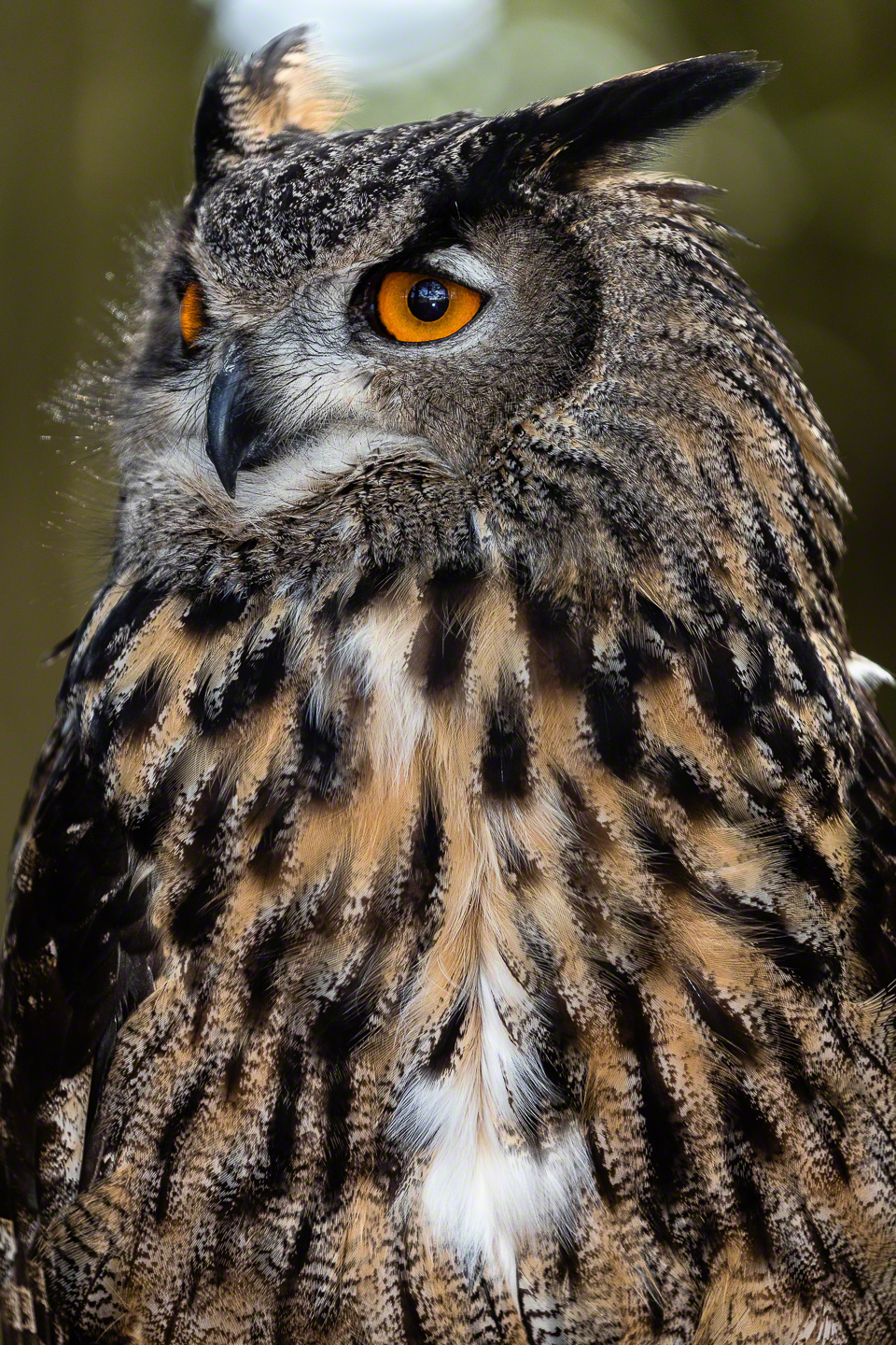 The eyes and plumage of this Siberian Eagle Owl really pop. Done with flash over ambient light. TTL flash, flash exposure compensation - ⅔ stop
