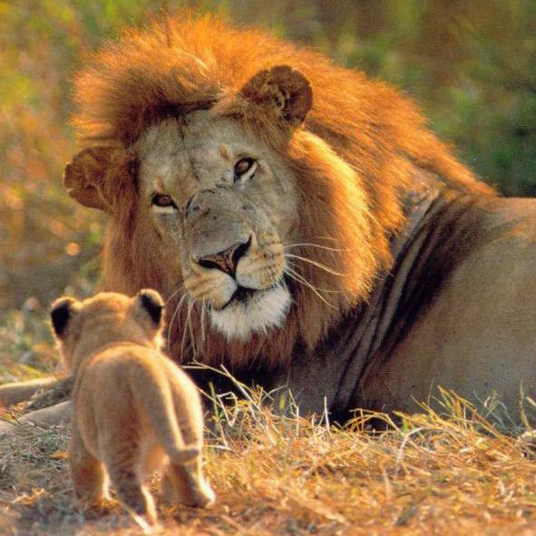 Lion plus cub