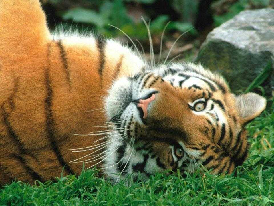 sideways tiger