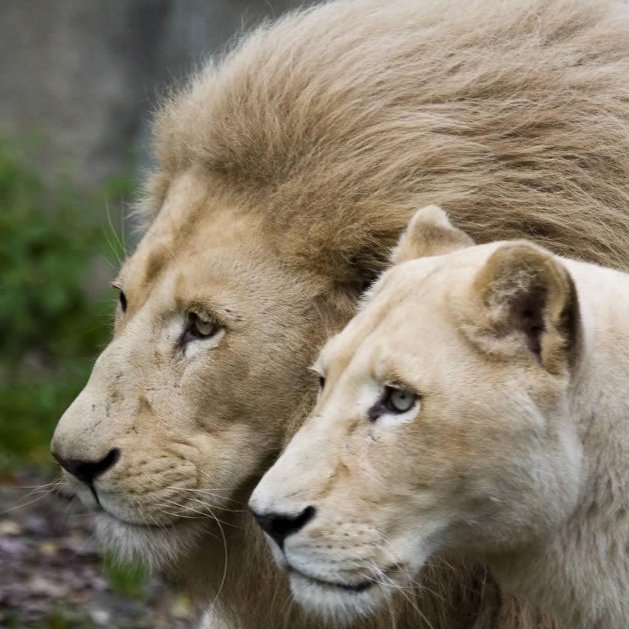 male female lions