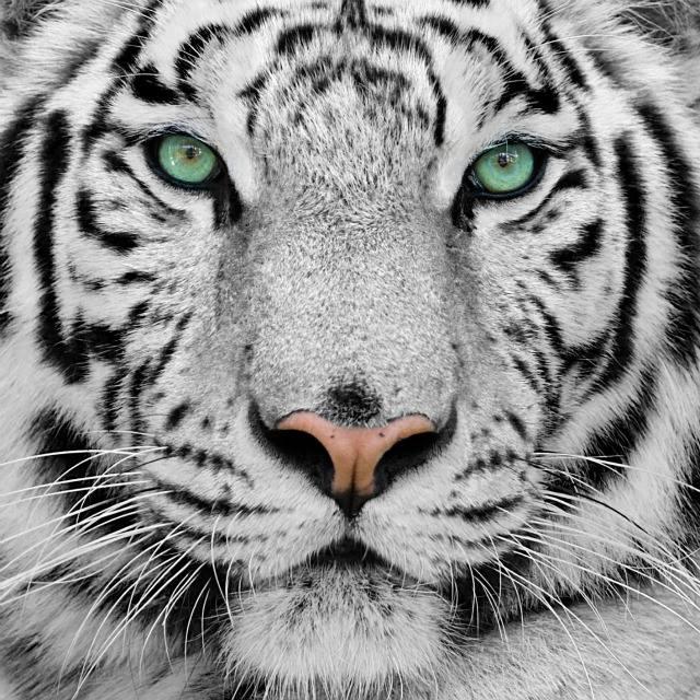 superconscious tiger