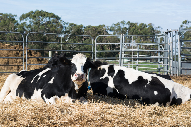 Dairy farm cows Schulz Organic Farms slow diaries.jpg