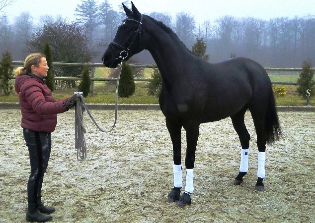 South-West Harmony  by Charmeur / De Niro – Passed Oldenburg mare election successfully in 2015. Awaiting its foal in March 2016, before she will be broken-in and start a riding career.. (photo credit Laisbo Hors'es)