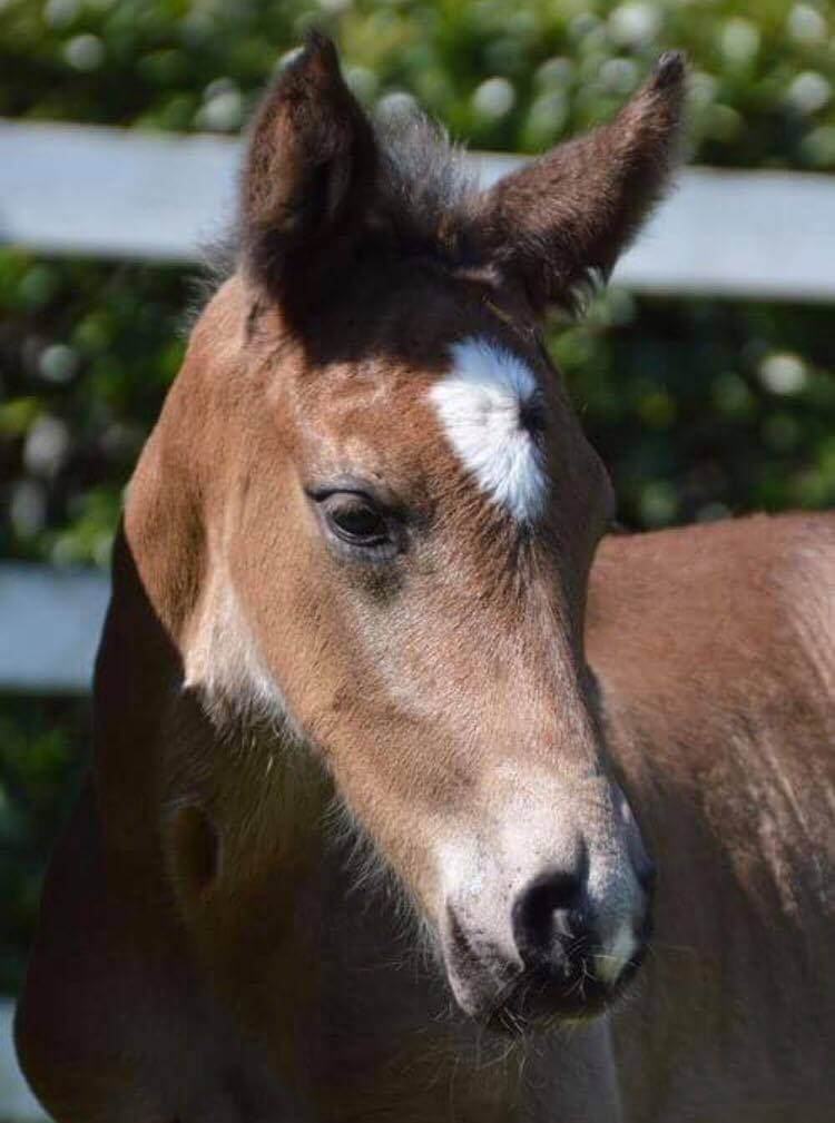 Escamillo as a foal - private photo: Kimberly Davies
