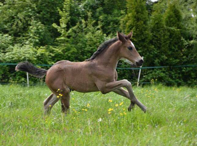 Escamillo enjoying his childhood at Lenzen Farm in Heinsberg, Germany.  Private photo: Kimberly Davies