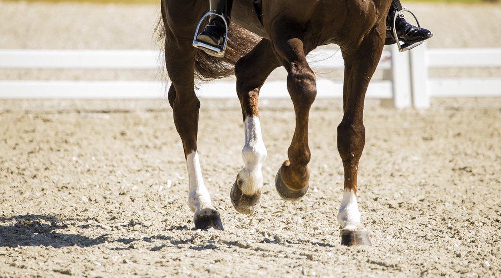 Legs of Danish Warmblood stallion Skovens Rafael at Equitour 2017 - photo credit: H2R