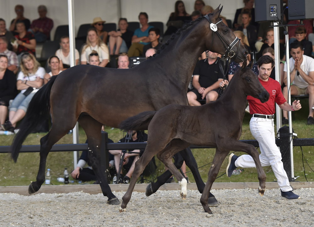 The filly foal Fellini with the unique pedigree achieved a knock-down price of 115,000 euros. Photo credit: Ridehesten.