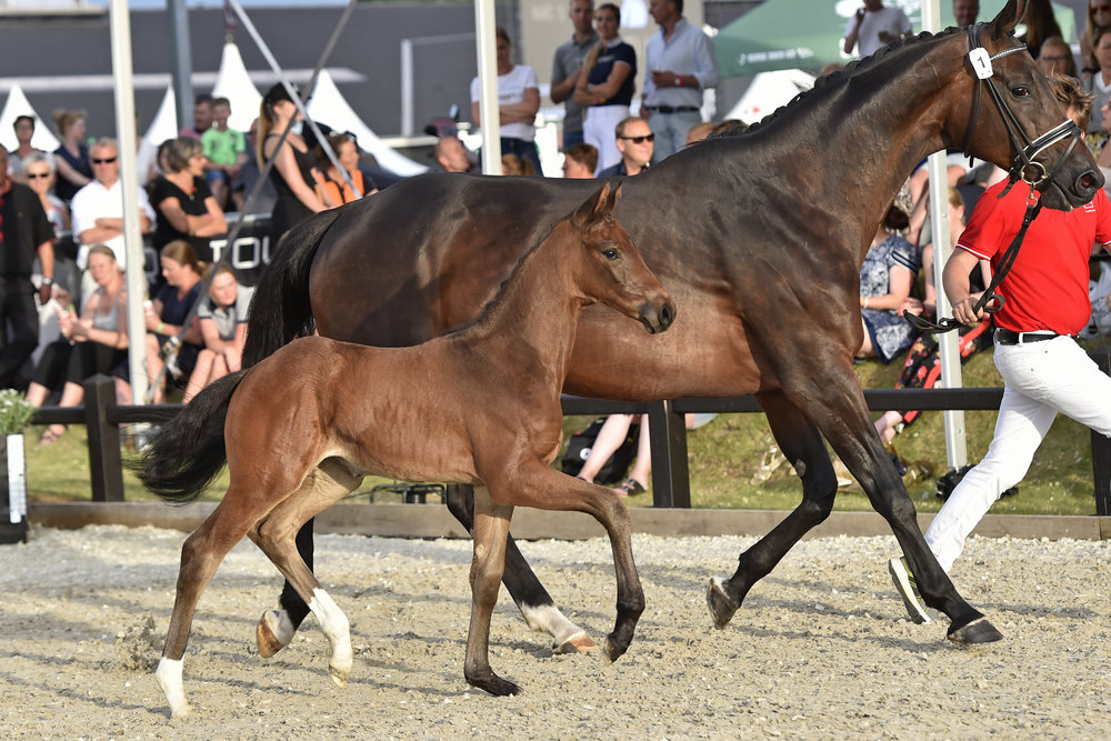 The filly foal Faretti II by Franklin/Don Frederico, a fullsister of the price highlight from 2017, sold for 102,000 euros. Photo credit: Ridehesten.