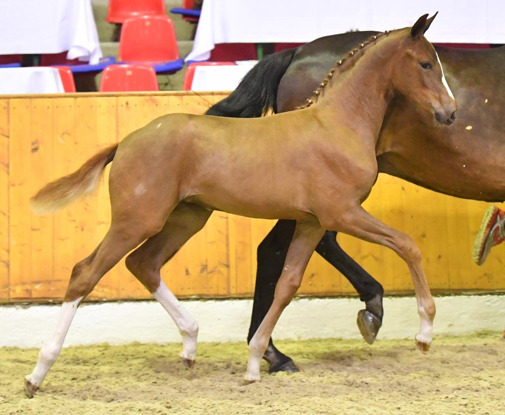 Fantasy - filly by Foundation - Blue Hors Romanov sold for 107.000 euros to Germany.