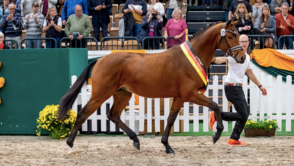 Champion stallion Kattenau by Honoré du Soir/Perechlest