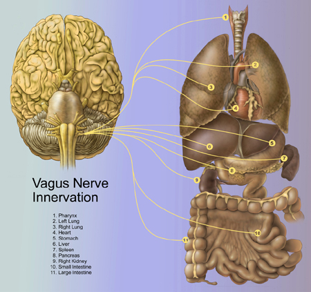 The marvellous Vagus Nerve